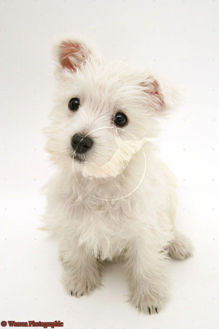 Westie Pup Westie Dogs Westie Puppies West Highland Terrier