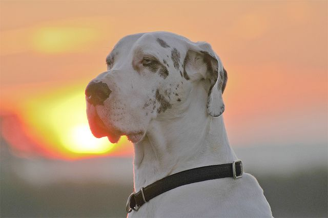Great Dane At Sunrise Baby Dogs Dogs Dog Training Classes