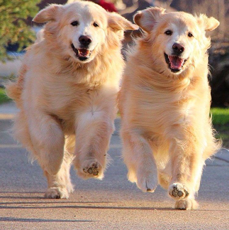 You Re Back You Re Home Happy Golden Retrievers Meet