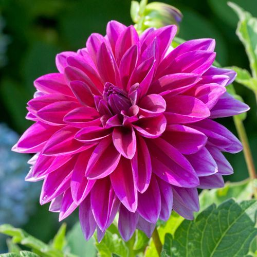 Pin By Shoplet On Shoplet Blog Flowers Expensive Flowers Growing Dahlias