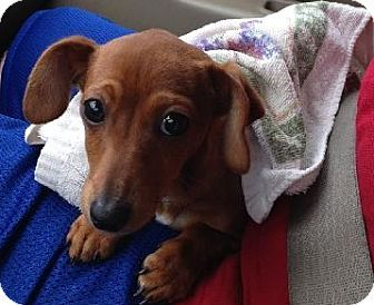 Austin Tx Dachshund Meet Valentine A Puppy For Adoption
