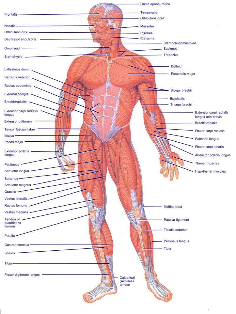 How a HEALTHY Musculoskeletal system works | Anatomy & Physiology ...