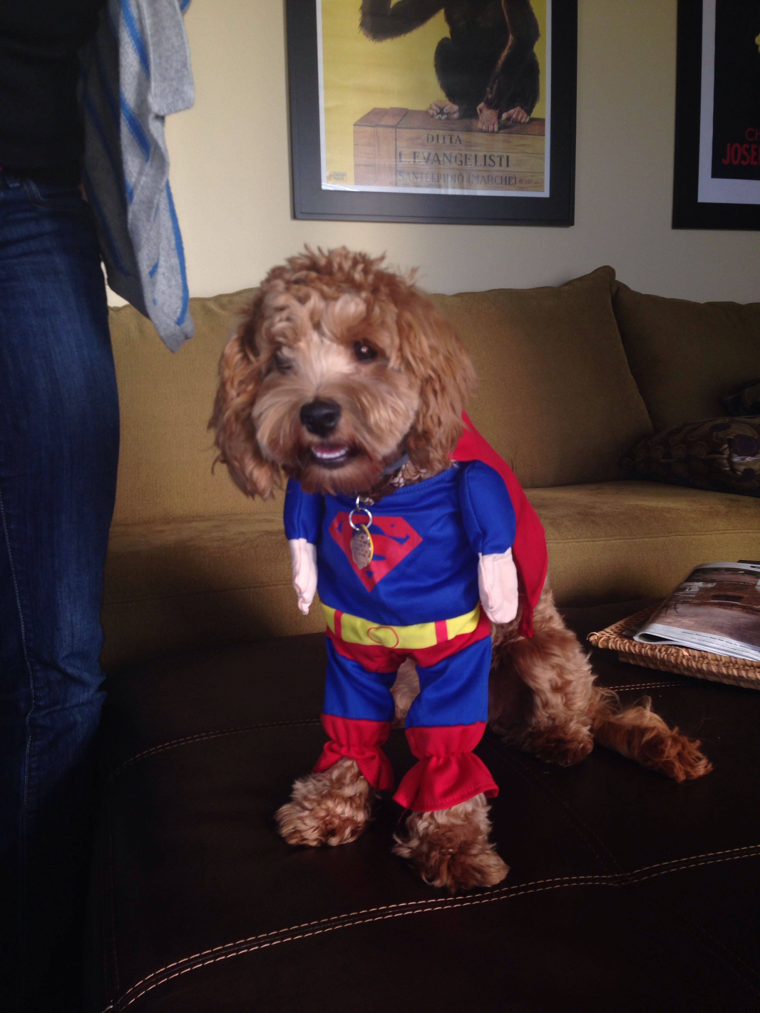 Cockapoo Super Dog Halloween Costume Puppy Luv Puppy