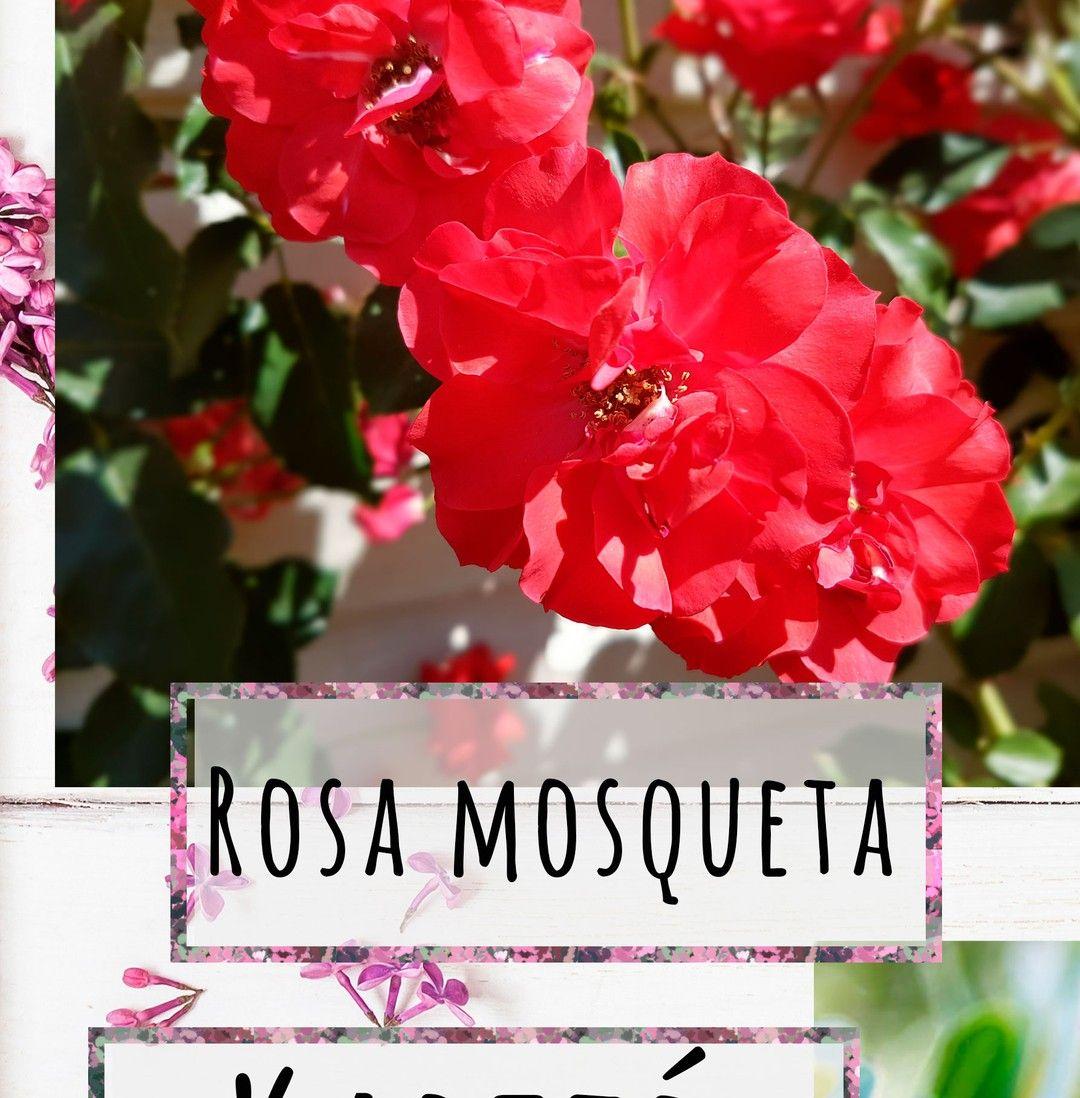 Las Flores De Esta Foto No Son De Rosa Mosqueta Son Los Rosales De Mi Suegra Como No Vi Ninguna Foto Por Internet Que Me Gu Rosa Instagram Flores