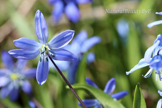 Blue Spring Flowers Print Macro Small Blue Squill Flower