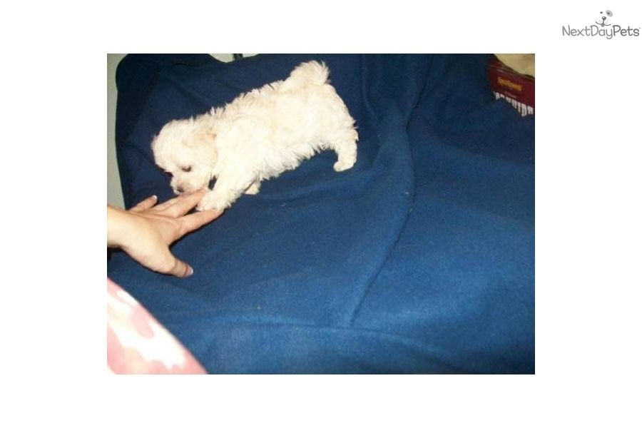 You Ll Love This Female Malti Poo Maltipoo Puppy Looking For A