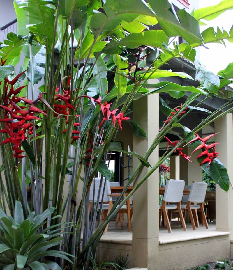 Tropical Home Garden Design Ideas: Heliconia Hot Rio Nights Resized - Copy