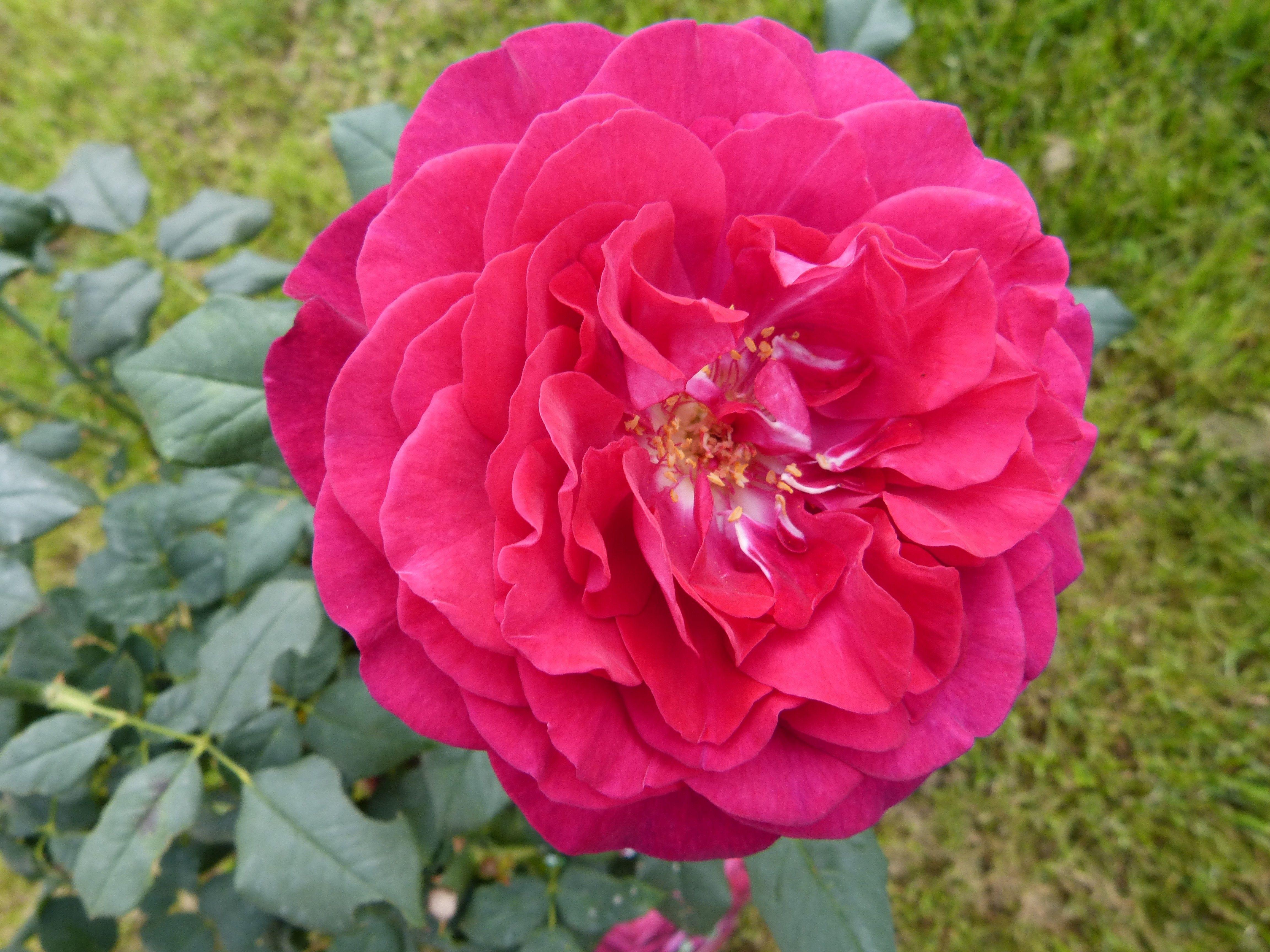 rose buisson parfum de Honfleur