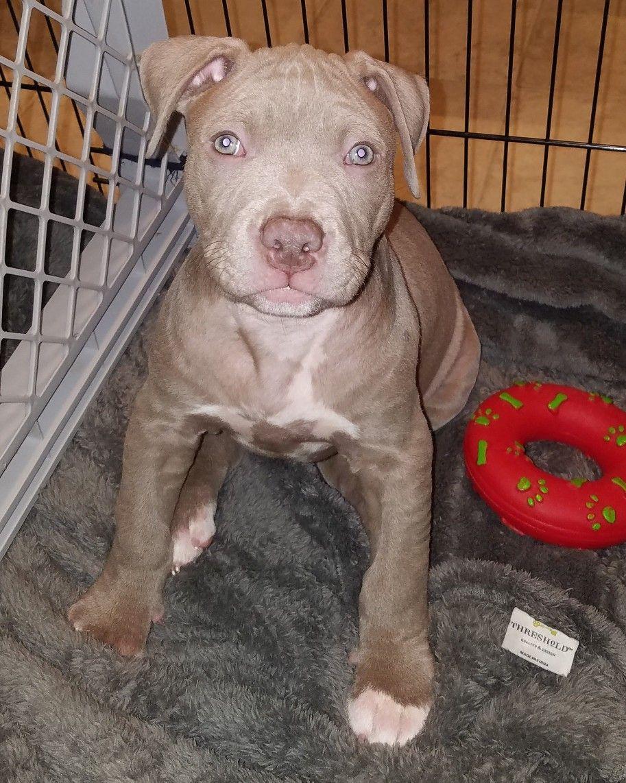 Pin By Patsy Barnes On Cute Animals Pitbull Terrier Pitbulls