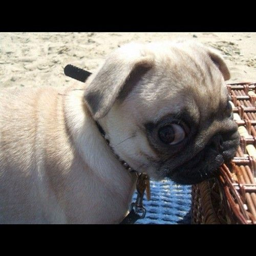 Mr. Pug is going to chew on your basket, if that's ok with you