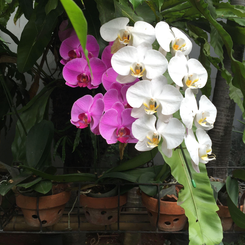 Pin By Iyayruyatnasih On Anggrek Bulan Orchids Flowers