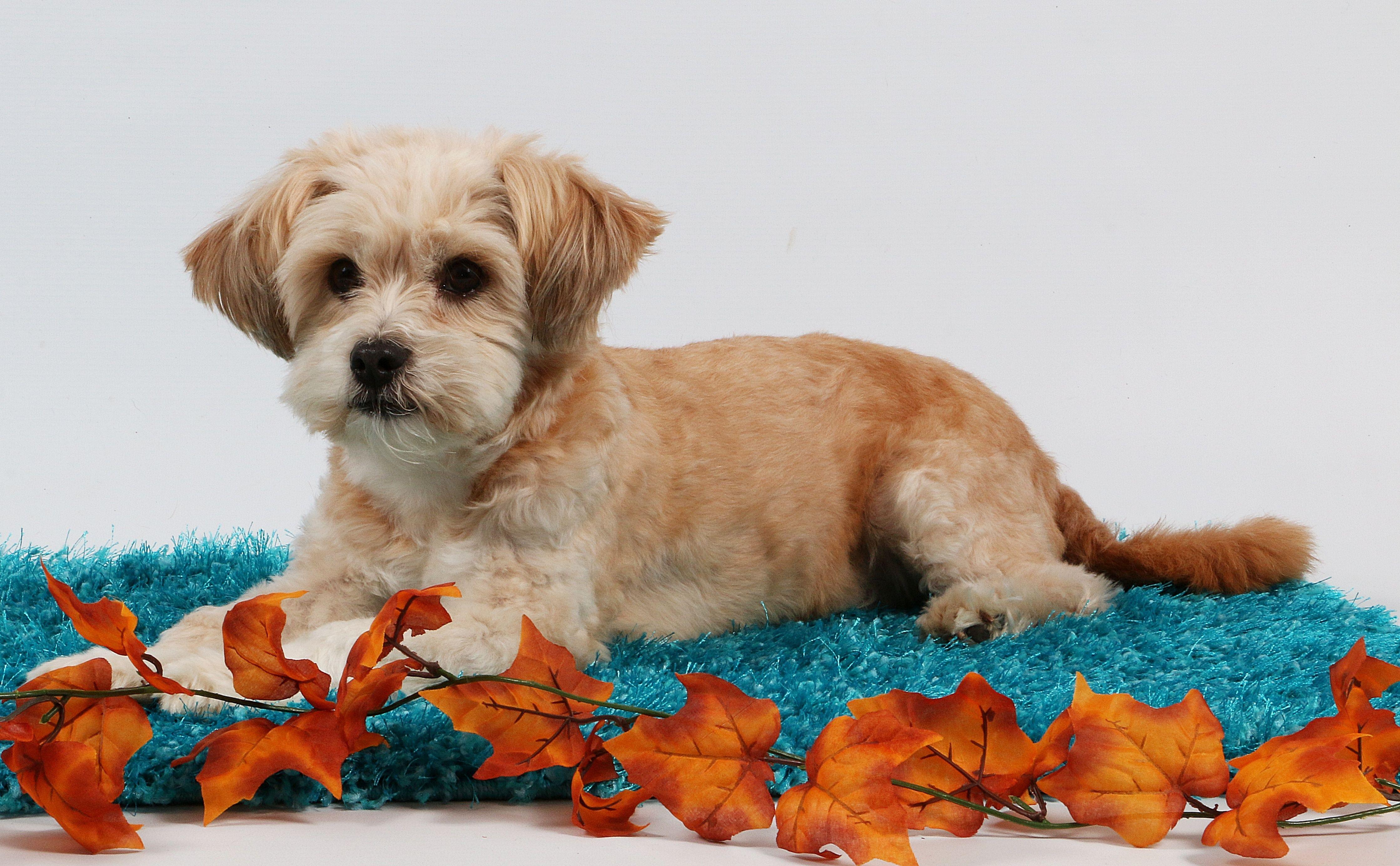 Shih Poo Your Guide To The Shih Tzu Poodle Mix Shih Tzu Poodle