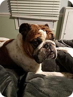 Farmington Hills Mi English Bulldog Meet Carlos A Dog For