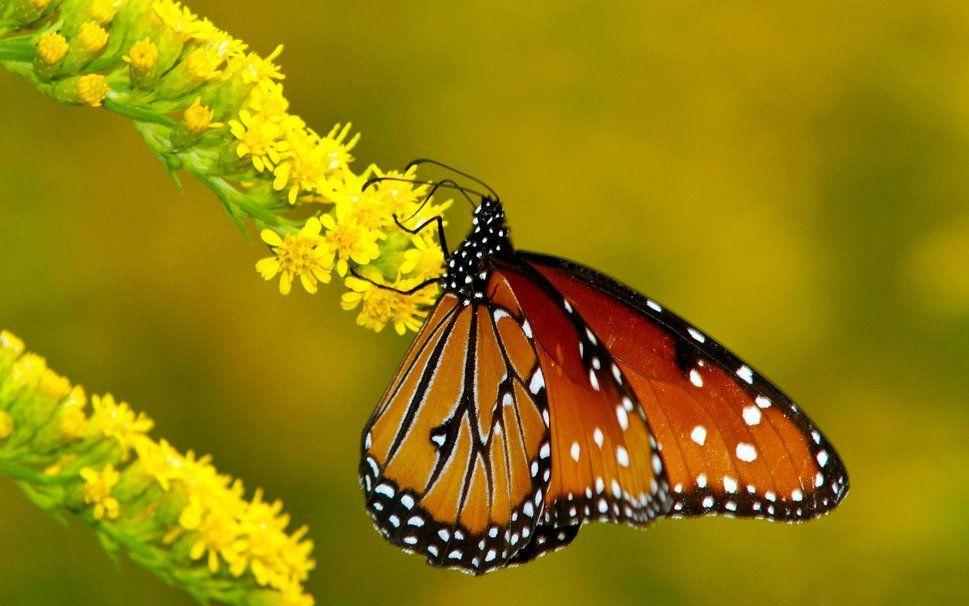 çiçekler, kelebekler, hükümdar, duvarlar vektör