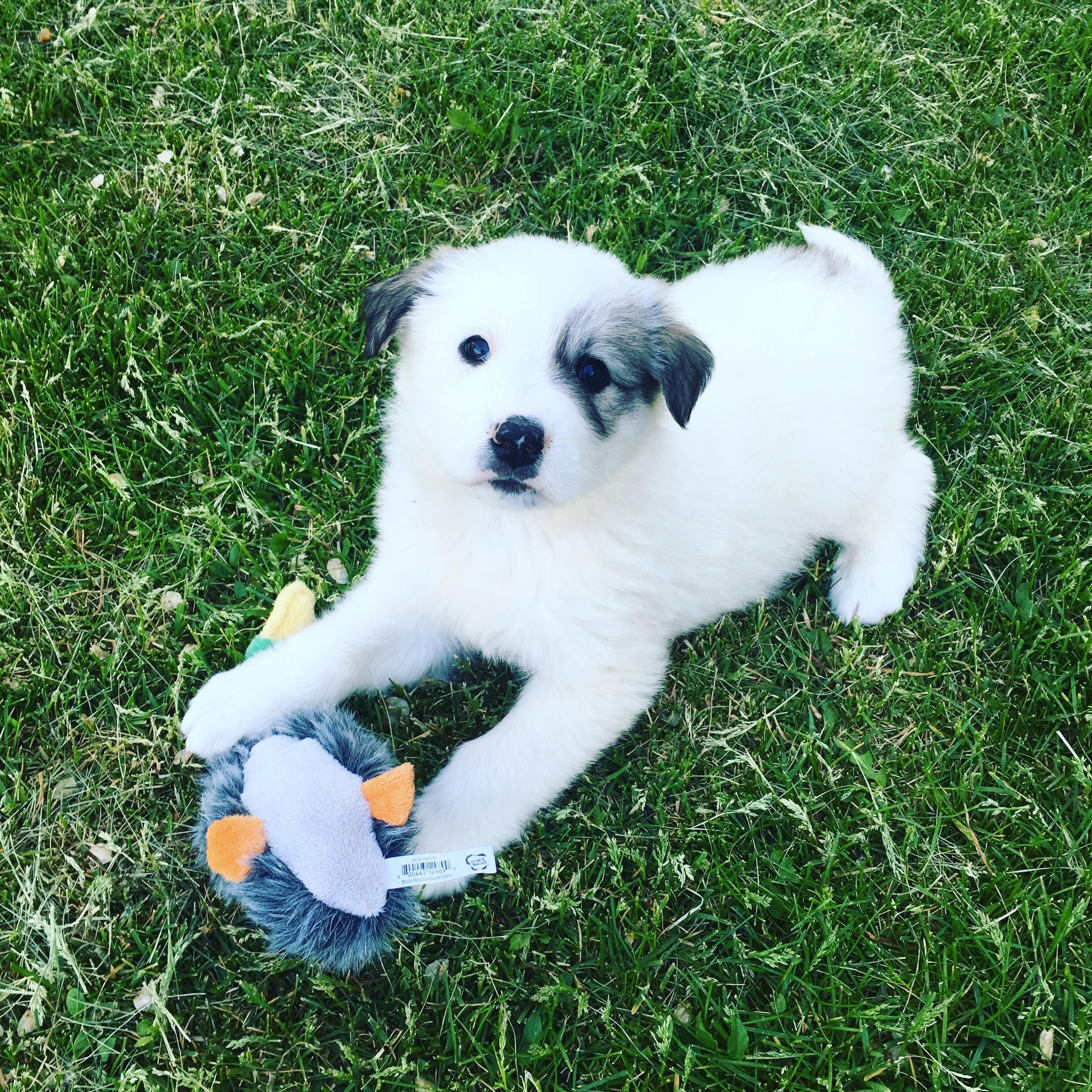 Our New Boy Ross Anatolian Shepherd Great Pyrenees Mix Http