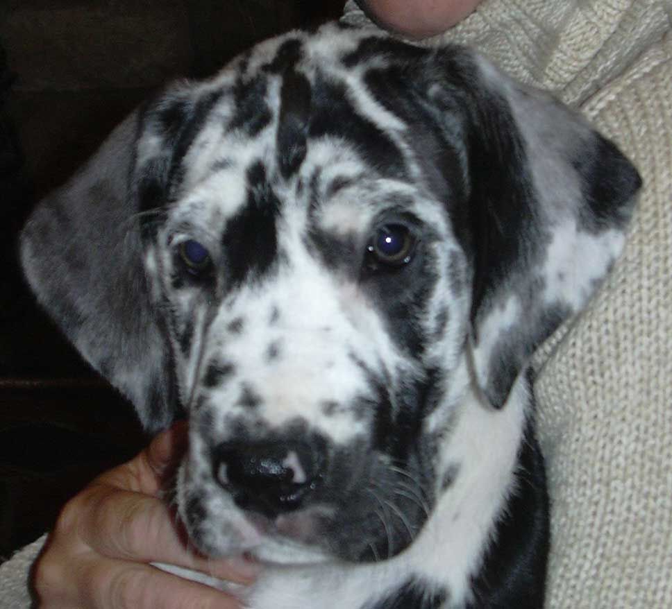 Harlequin Great Dane Puppy Stunning Great Dane Dogs Dane