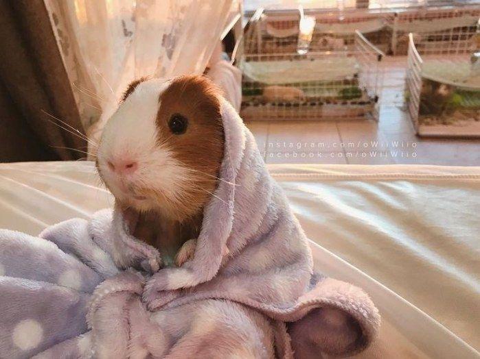 Pin Auf Guinea Pig