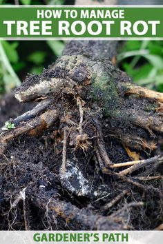 How to Manage Root Rot in Fruit, Nut, and Landscape Trees and Shrubs