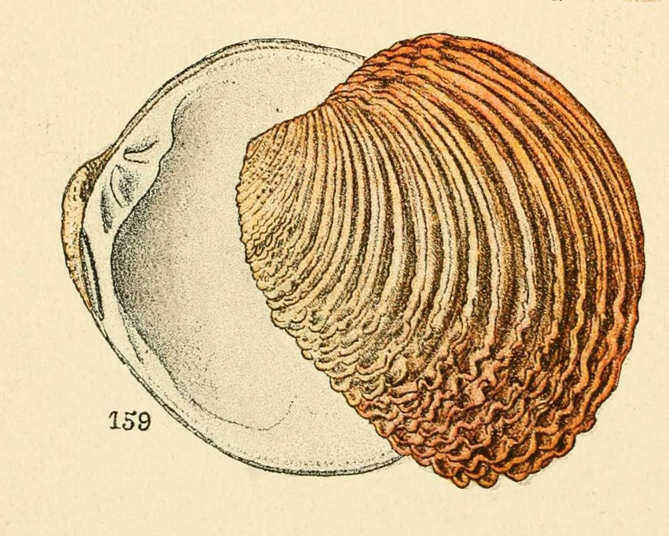 Epingle Par Ly Christophe Sur Fruits Fleurs Animaux Coquillage Dessin Dessin Et Coquillage