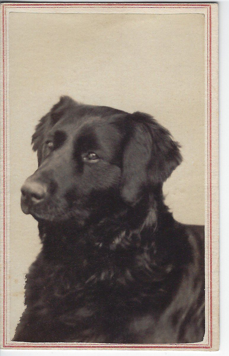 1867 Cdv Of Handsome Retriever Photo By S J Thompson No 55 State Street Over Koonz S Carpet Store Albany N Y On Vintage Dog Buying Carpet Dog Photos