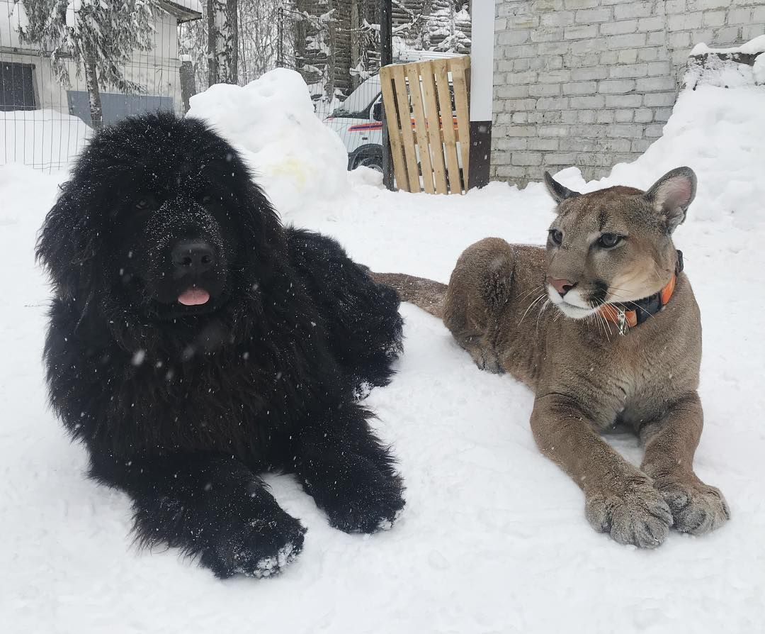 35+ Adorable Newfoundland Photos That Prove These Dogs Are
