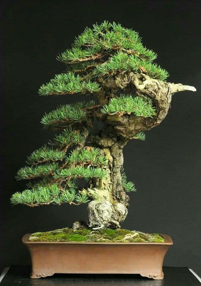 Pin By Austin Comeaux On Culture Calm Bonsai Tree Japanese Bonsai Bonsai Art
