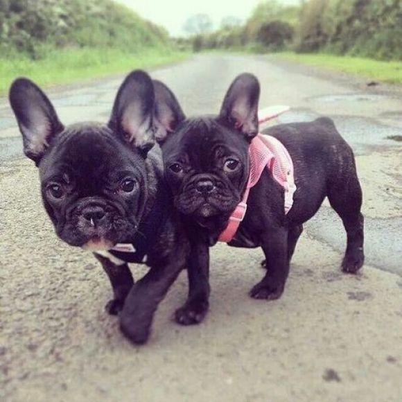 Two Black French Bulldog Puppies Puppies Bulldog Bulldog Puppies