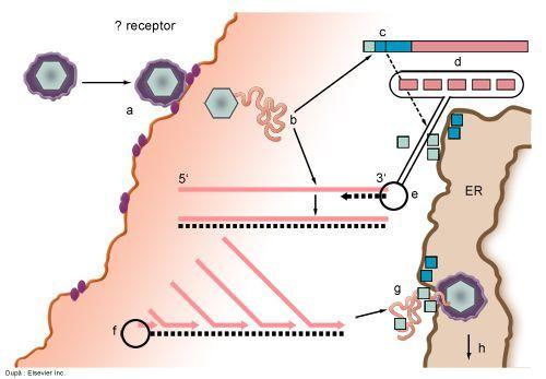Ciclul de viata al virusului hepatitei C (HCV) - SANTE TOUR