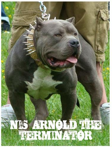 Huge 100 Pound Xxl Large Male Pitbulls Bully Xtreme Cute Funny