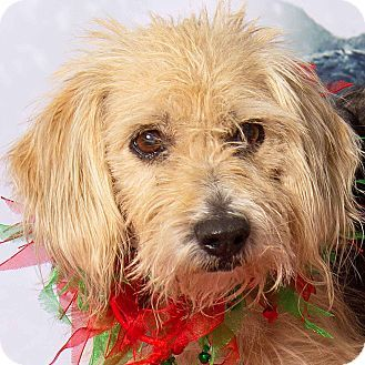 Gilbert Az Yorkie Yorkshire Terrier Beagle Mix Meet Eloise A