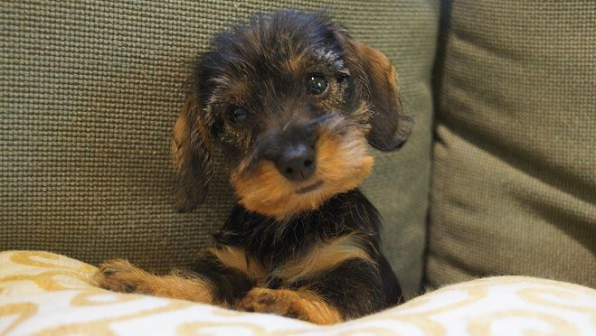 Wirehaired Dachshund Puppies Willow Springs Miniature Wirehaired