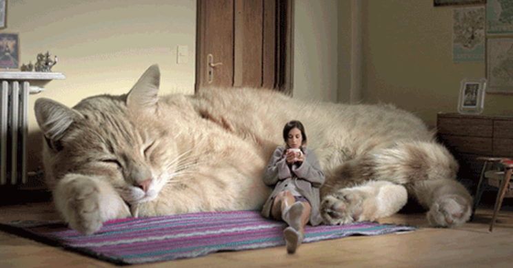CAT OR TIGER? 10 LARGEST DOMESTIC CAT BREEDS Giant cat