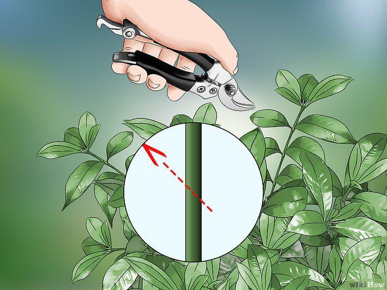 How To Prune A Gardenia Bush 13 Steps With Pictures Wikihow Gardenia Bush Gardenia Gardenia Plant