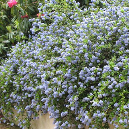 c anothe rampant arbuste persistant fleurs bleues et arbuste. Black Bedroom Furniture Sets. Home Design Ideas