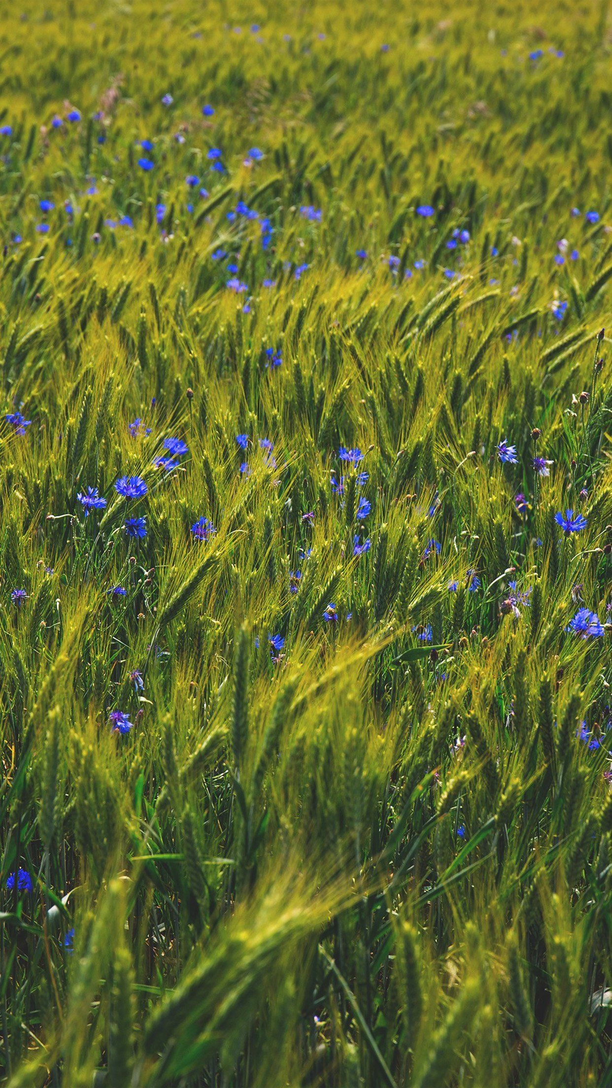 Nice Flower Blue Nature Love Summer Day Iphone6 Plus Wallpaper