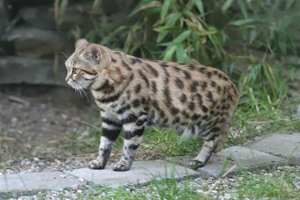 gato bravo de patas negras felis nigripes assim como o gato do