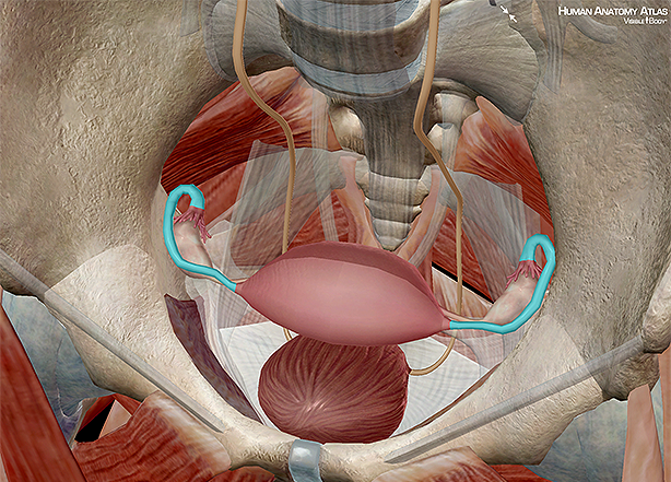 fallopian fimbriae ovaries ovum uterus