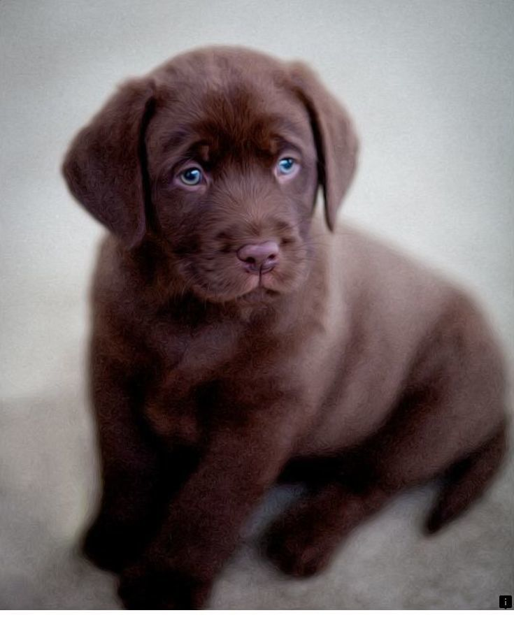 >>Read more about Labrador Retriever Puppies. Click the link to learn more The web presence is worth checking out. #labradorretrieverpuppies
