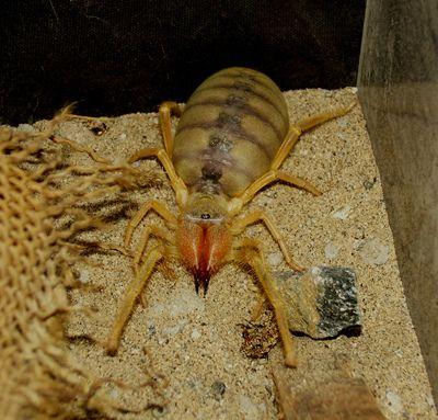 Camel Spider (Eric) Af...