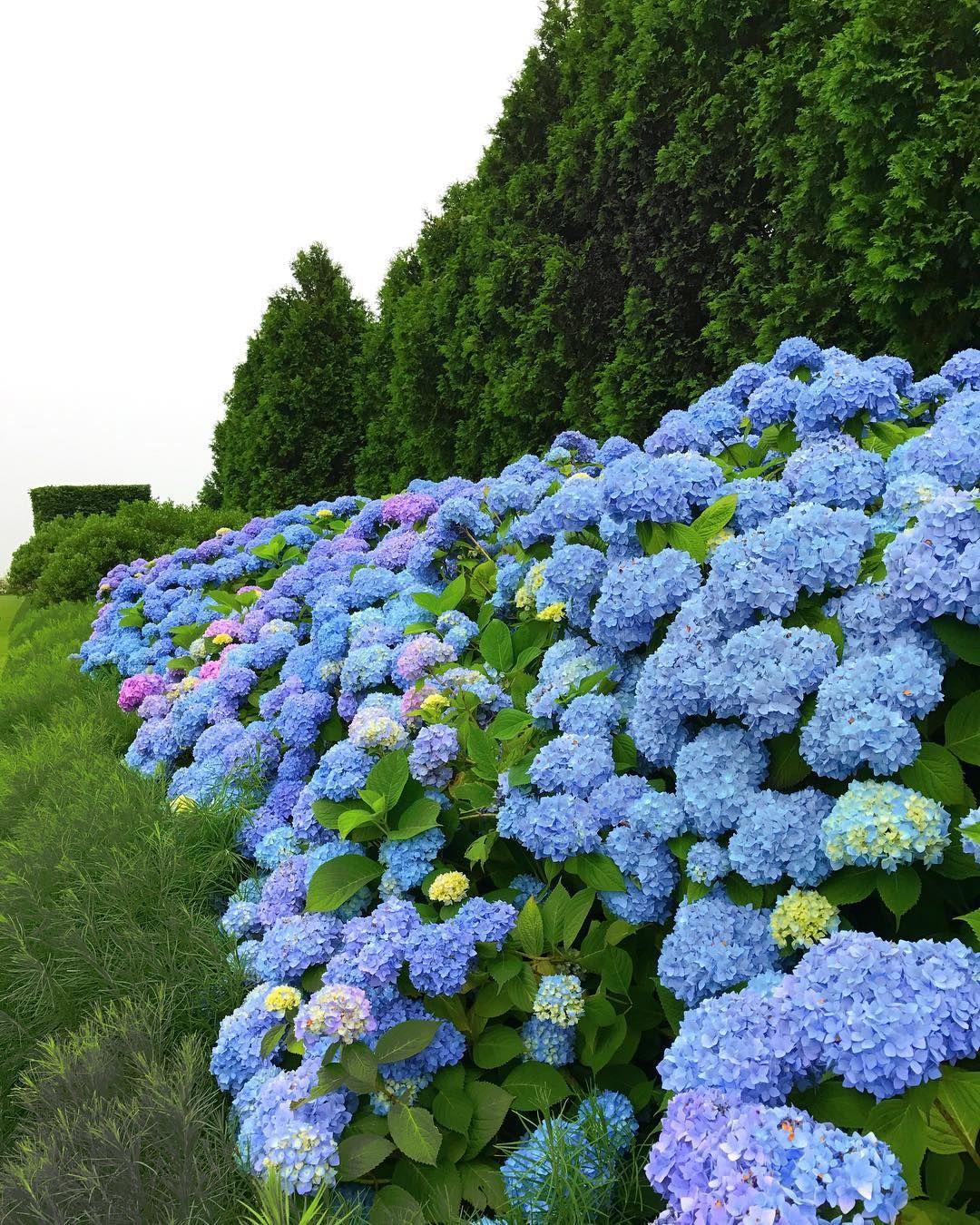 hydrangea heaven flowers beautiful