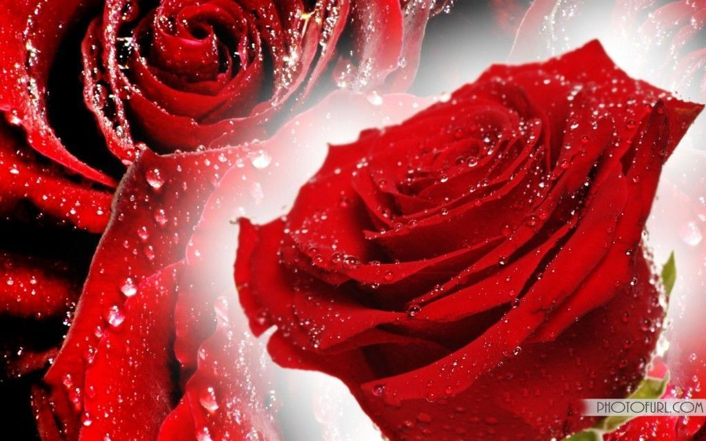 Red Rose Wallpapers Free Download Red Flower Wallpaper Rose Wallpaper Red Roses Wallpaper