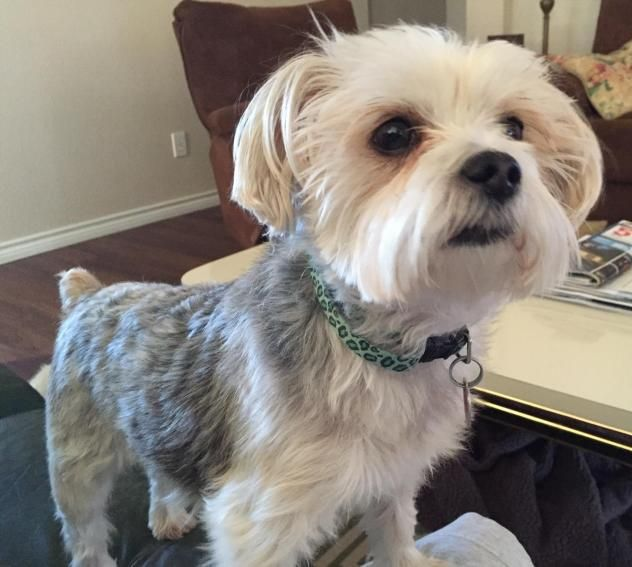 Adopt Paris On Maltese Mix Yorkshire Terrier Adoption