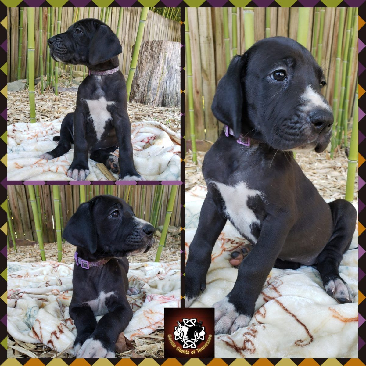 Purple Collar Female Akc Great Dane Pups In Cookeville