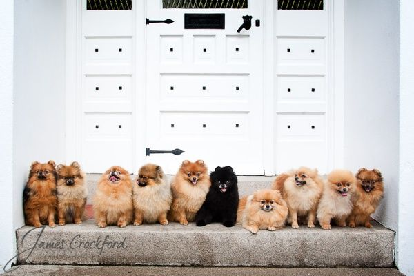 Pomeranians pomeranians