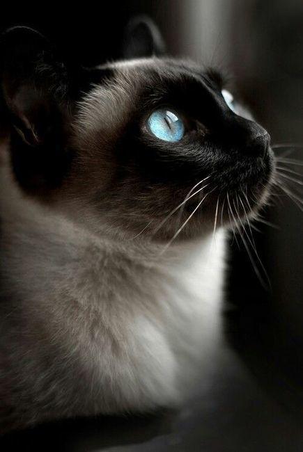 Chat Siamois Profil Yeux Bleus Tatouage Cindy Chats Siamois
