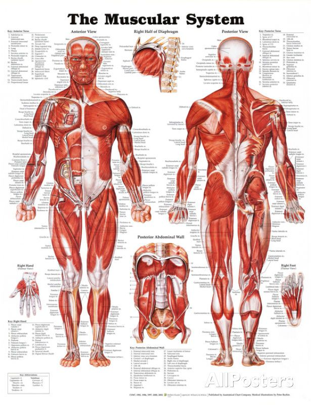 Muscular System Anatomical Chart Poster 20x26 Human Body Medical ...