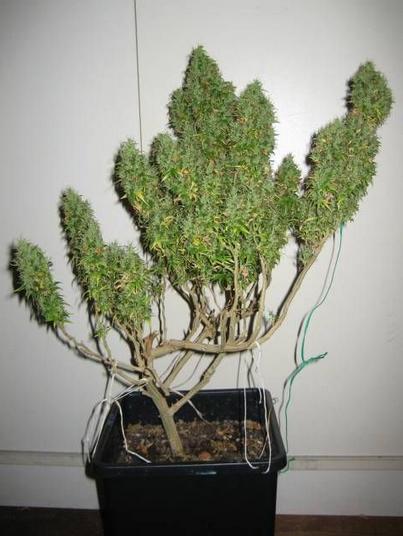 I got good quality weed pills lean wax cannabis - Fabriquer goutte a goutte ...