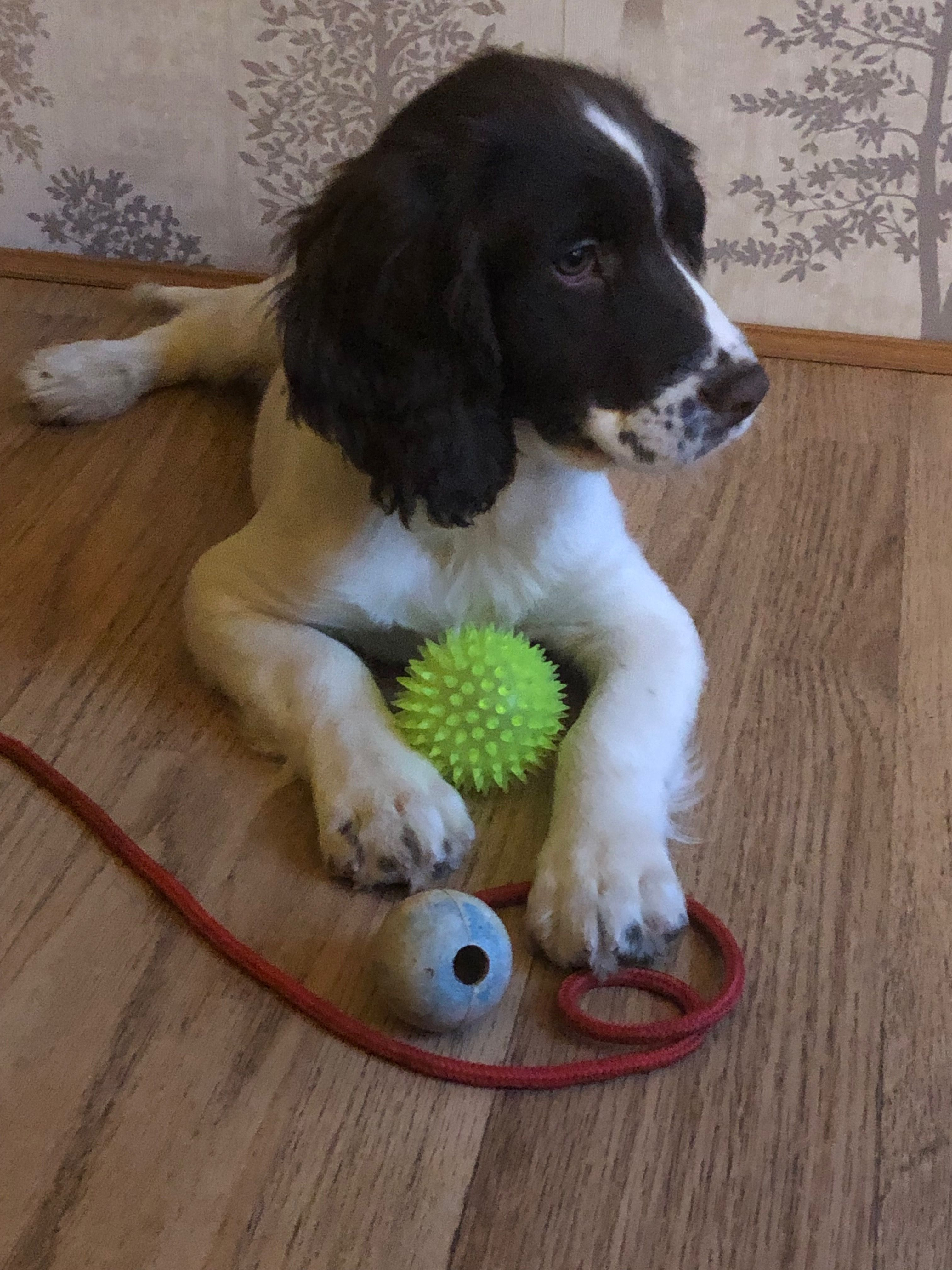 Pin By Florica Boti On Dogs English Springer Spaniel Spaniel Puppies Springer Spaniel Puppies