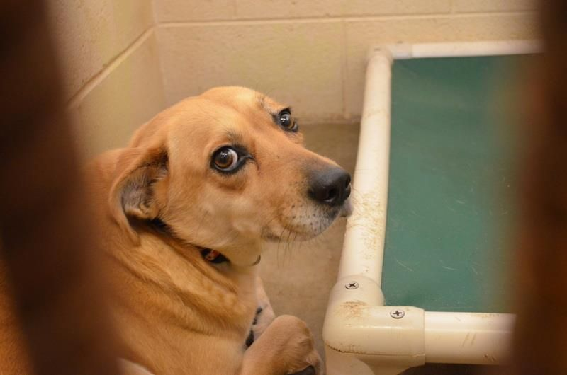 Sweet Lab Needs Out Asap 134383 Darling Female Lab Https Fundrazr Com Campaigns 0h1p6 Ab 61vcx1 Clayton County Anim Clayton County Animal Control Rescue
