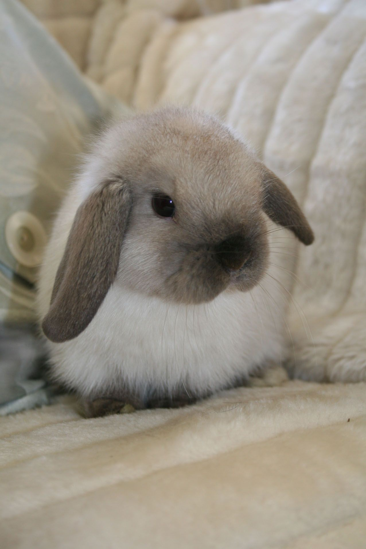 Mi Ni Clips: Holland Lop Bunnies, Holland Lop